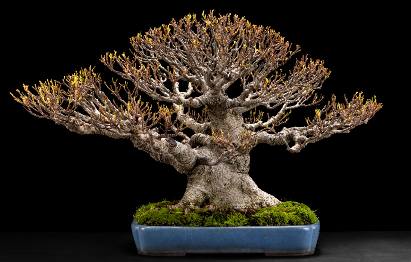 Workshop 7B – Tiger Bark Ficus